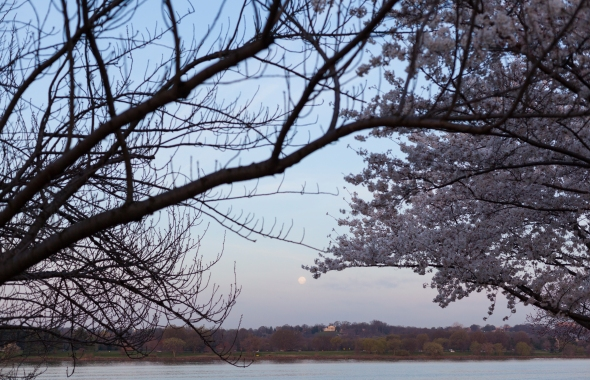 West potomac park, moon, sakura, cherry blossoms